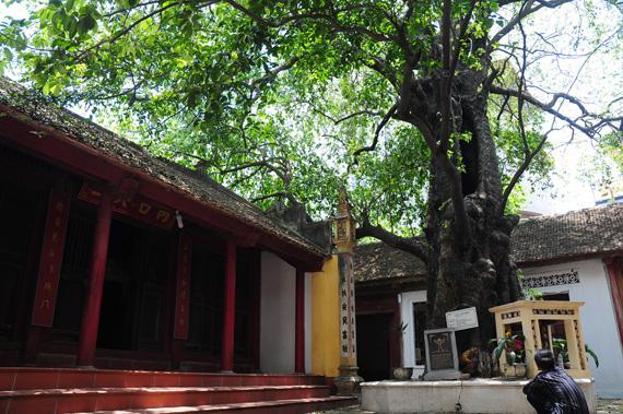 Cây thị cổ gần 600 tuổi làng Phú Mẫn