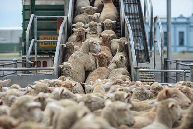 Liên minh châu Âu:  Lên án tình trạng vận chuyển động vật không đảm bảo tiêu chuẩn